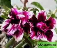 Adenium obesum  magic purple