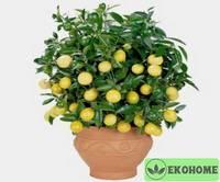 Карликовый лимон patio