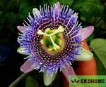 Passiflora ligularis - пассифлора язычковая (маракуйя)