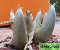 Mitrophyllum mitratum - митрофиллум митратум