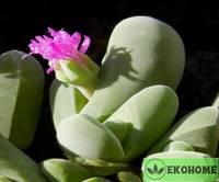 Gibbaeum shandii - гиббеум шанда