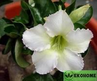 Адениум мини белый (белые цветки) - adenium obesum mini size white