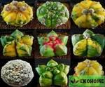 Astrophytum cultivar mix new (астрофитумы гибриды смесь семян)