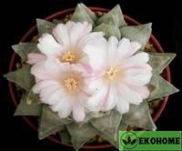 Ariocarpus retusus - ариокарпус притупленный
