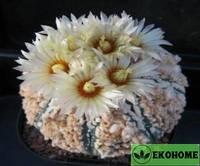 Astrophytum asterias нana-zono (астрофитум астериас хана-зоно)