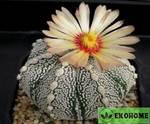 Astrophytum hybrid sk-co - astrophytum asterias cv. Super kabuto x astrophytum coahuilense (астрофитум гибрид культивар суперкабуто и коауиленсе)