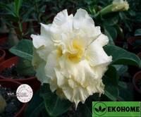Adenium obesum hybrid ko_29