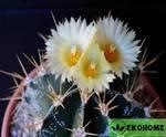 Astrophytum ornatum (астрофитум украшенный)