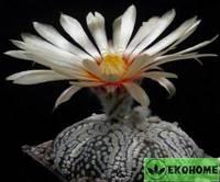 Astrophytum asterias super kabuto (астрофитум астериас супер кабуто)