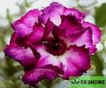 Adenium obesum quatro flower king magenta
