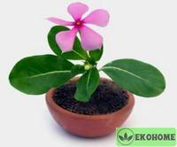 Vinca rosea - catharanthus roseus - барвинок розовый