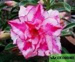 Adenium obesum triple flower pink paradise