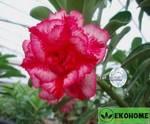 Adenium obesum hybrid ko_4