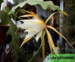 Epiphyllum anguliger - эпифиллум ангулигер угловатый