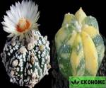 Astrophytum hybrid coas variegated x sk (астрофитум гибрид коауиленсе-астериас вариегатный и суперкабуто)