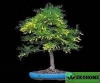 Caragana arborescens - карагана древовидная.