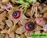 Orbea elegans - орбея изящная