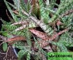 Aloe rauhii - алоэ рауха