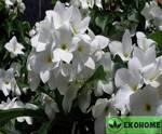 Plumeria pudica - плюмерия стыдливая