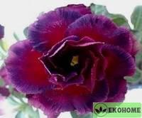 Adenium obesum triple flower black beauty