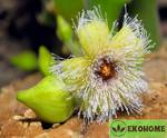 Stapelia glanduliflora - cтапелия гландулифлора