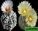 Astrophytum hybrid as-sk - astrophytum asterias x astrophytum asterias cv. Superkabuto (гибрид астрофитум астериас и астрофитум астериас суперкабуто)
