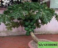 Папайя - carica papaya