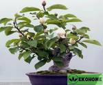 Magnolia mix смесь разных видов и гибридов магнолии