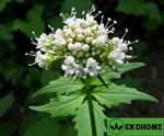 Валериана лекарственная - valeriana officinalis