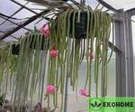 Aporocactus flagelliformis - апорокактус плетевидный