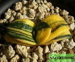 Gasteria armstrongii variegated