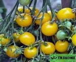 """Томат """"золотой чероки""""f1 - tomato """"gold cherokee""""f1"""