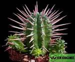 Молочай ужасный - euphorbia ferox