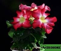 Адениум мини розовый (розовые цветки) - adenium obesum mini size pink