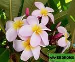 Plumeria inodora