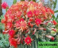 Chamaecereus sylvestris - хамацереус сильвестри - арахисовый кактус