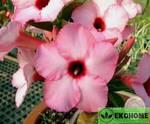 Adenium obesum beauty of taiwan адениум обесум лучший на тайване