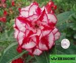 Adenium obesum hybrid ko_24