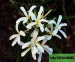 Plumeria filifolia
