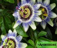 Passiflora caerulea (кавалерская звезда) - пассифлора голубая (маракуйя)