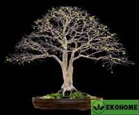 Псидиум кеттли - гуайава земляничная - psidium cattleianum