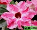 Adenium obesum double flower gentle breeze