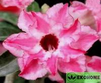 Adenium obesum double flower gentle breeze