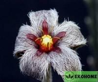 Stapelia erectiflora - стапелия эректифлора