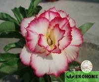 Adenium obesum hybrid ko_16