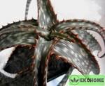 Алоэ бранддрааийское - aloe branddraaiensis