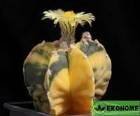 Astrophytum myriostigma variegata (астрофитум мириостигма вариегатный)
