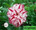 Adenium obesum hybrid ko_36