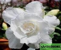 Adenium obesum triple flower snow white (адениум махровый белый снег)