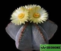 Astrophytum myriostigma (астрофитум мириостигма)